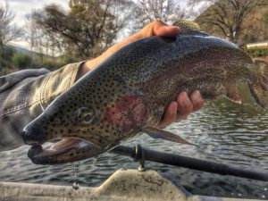 a rainbow trout from the South Holston river