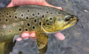 Brown trout from the West Branch ot the Delaware river.