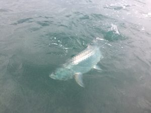 A fighting tarpon from Belize River Lodge, Belize.