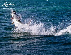 Jumping tarpon fron the Isla De Juventud Cuba.