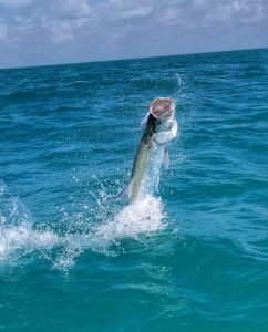 A large tarpon jumping. Ascension Bay Mexico.