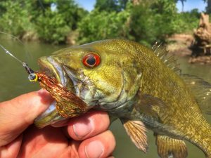 A beautiful little smallmouth bass that hit a Kreelex fly.