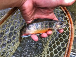 A brooktrout caught in the Shenandoah National Park while fishing with a Virginia fishing guide.