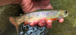 a brooktrout from the Shenandoah Park. Virginia fishing guides.