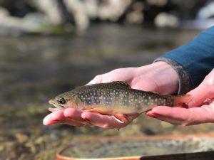 Shenandoah National Park, brook trout.
