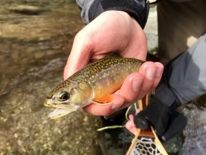 Virginia brook trout.