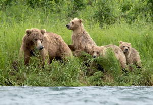 A mother brown bear and her cubs on the banks of the Alagnak River, Alaska