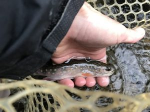 A small brook trout from the Rapidan river.