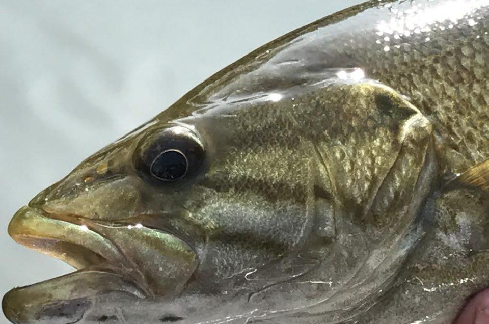 James river smallmouth bass.