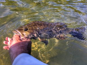 James river smallmouth bass being released.