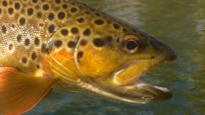 Brown trout. One of the species from the Virginia Trifecta float.