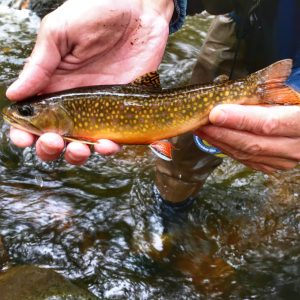 A beautiful brook trout from a Blue Ridge stream.